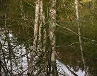Birken gespiegelt