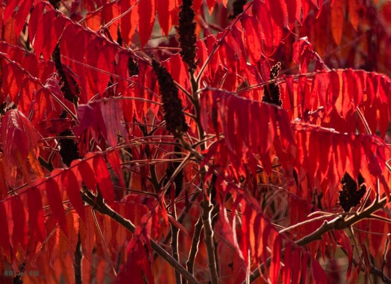Essigbaum in Herbstfärbung