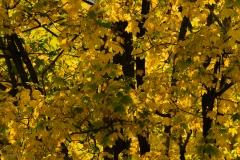 Linden im Herbst