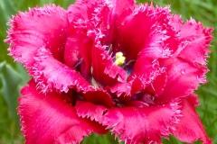 Tulpe rot